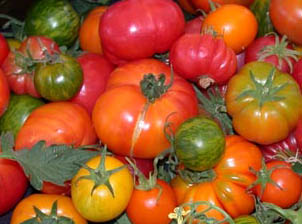 multi-colored tomatoes