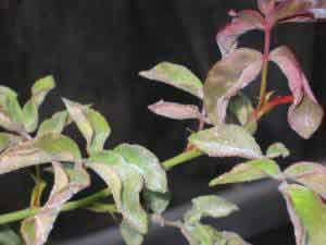PM on Zepherine Drouhin climbing rose, note leaf curl caused by the disease.